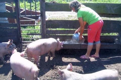 3-я вспышка африканской чумы свиней произошла вНижегородской области