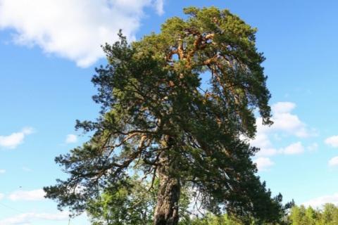 Сосна из Тейковского района может стать главным деревом России